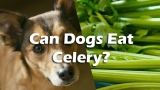 Can Dogs Eat Celery – Find Whether You Dog Can Eat Celery or Not
