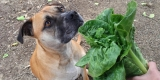 Can Dogs Eat Lettuce – Find Whether You Dog Can Eat Lettuce or Not