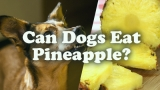 Can Dogs Eat Pineapple- Find Whether You Dog Can Eat Pineapple or Not