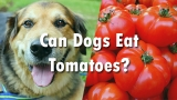 Can Dogs Eat Tomatoes – Find Whether You Dog Can Eat Tomatoes or Not