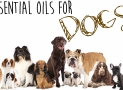 Essential Oils for Dogs – What Essential Oils Are Good for Dogs?