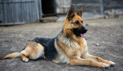 Best Dog Food for German Shepherd – Top Rated German Shepherd Dog Food
