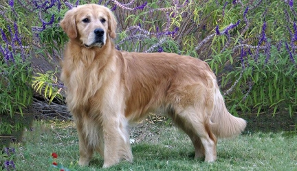 Best Dog Food for Golden Retrievers – Top Rated Golden Retriever Dog Food