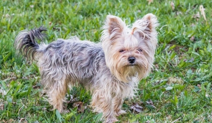 Best Dog Food for Yorkies – Top Rated Yorkshire Terrier Dog Food