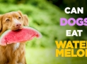 Can Dogs Eat Watermelon – Find Whether You Dog Can Eat Watermelon or Not